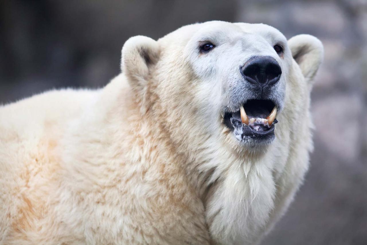 Оскал белого медведя картинки